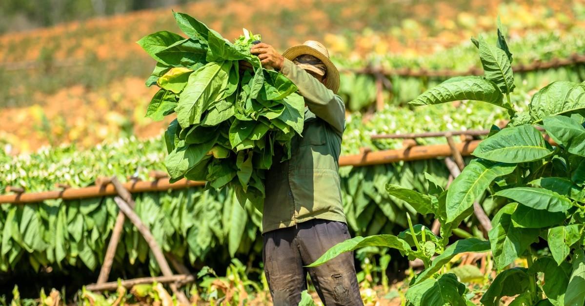 tobbacco plantation in Vinales Cuba